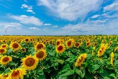 开花的域向日葵 免版税库存图片