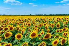开花的域向日葵 库存图片
