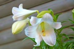 开花的复活节百合属植物百合longiflorum 免版税库存图片