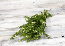 开花的夏重薄荷,拉特 开胃的菜肴hortensis 免版税库存图片