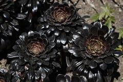 开花的多汁植物 图库摄影