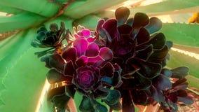 开花的多汁植物 库存图片