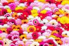 开花的大丁草花拼贴画  图库摄影