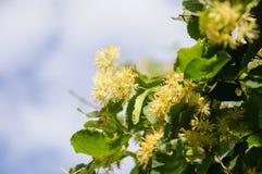 开花的大叶子菩提树椴树属 分支用黄色花报道 库存图片