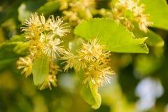 开花的大叶子菩提树椴树属 分支用黄色花报道 库存照片