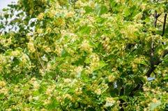 开花的大叶子菩提树椴树属 用黄色花报道的分支的背景 库存图片