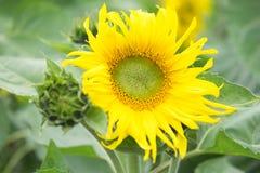 开花的大向日葵 免版税库存照片