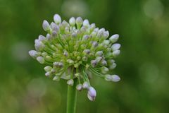 开花的大蒜在自然生态环境 库存照片