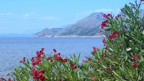 开花的夹竹桃、海和山在背景中 影视素材