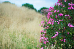 开花的夹竹桃和摧毁的草 库存照片