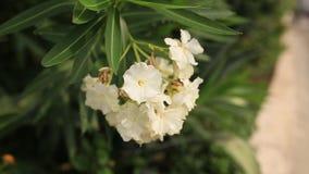 开花的夹竹桃树在黑山,亚得里亚海和 股票视频