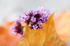 开花的小桃红色,紫罗兰色花和黄色枫叶 灰色背景 软绵绵地集中 浅深度的域 宏指令 免版税库存图片