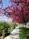 开花的山楂子-博伊西,爱达荷 免版税库存图片
