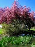 开花的山楂子-博伊西,爱达荷 库存照片