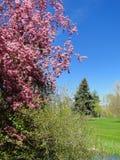 开花的山楂子-博伊西,爱达荷 免版税图库摄影
