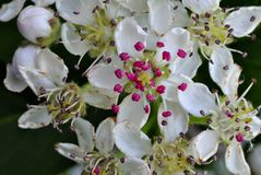 开花的山楂树树 库存照片