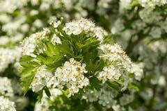 开花的山楂树灌木 图库摄影