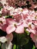 开花的山茱萸、萸肉kousa & x27红桃红色绽放;Rosea& x27; 库存照片