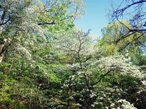 开花的山茱萸树 库存照片