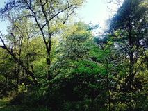 开花的山茱萸树 免版税库存图片