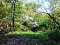 开花的山茱萸树 免版税库存照片