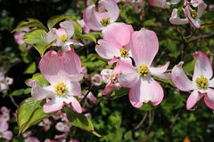 开花的山茱萸-萸肉佛罗里达Rubra桃红色开花 库存图片