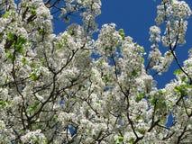 开花的山茱萸 库存图片