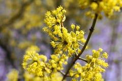 开花的山茱萸 免版税图库摄影