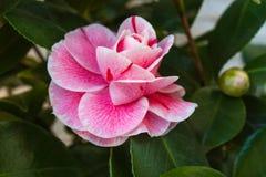 开花的山茶花花关闭,五颜六色和生动的植物,自然本底 库存照片