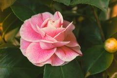 开花的山茶花花关闭,五颜六色和生动的植物,自然本底 免版税库存图片