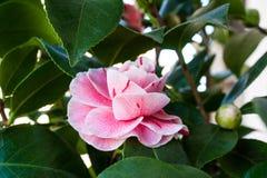 开花的山茶花花关闭,五颜六色和生动的植物,自然本底 免版税库存照片