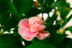 开花的山茶花花关闭,五颜六色和生动的植物,自然本底 免版税图库摄影