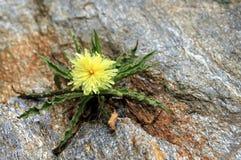 开花的岩石 库存图片