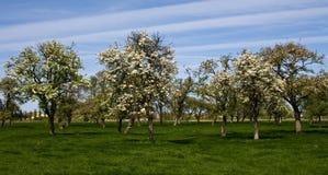 开花的布鲁日结构树 免版税库存照片