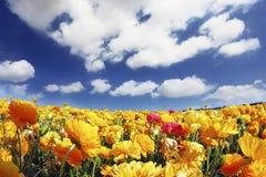 开花的庭院毛茛的巨大的领域 免版税库存照片