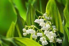 开花的庭院百合Spring Valley 免版税库存图片