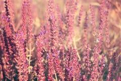 开花的庭院贤哲(共同的贤哲,烹饪贤哲), Salvia offici 免版税库存图片