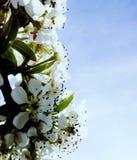 开花的庭院辉煌和芳香  免版税库存照片
