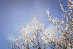 开花的庭院 在树的特写镜头花反对蓝天 背景概念花春天空白黄色年轻人 免版税库存图片