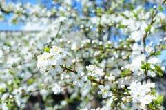 开花的庭院 在绽放的果树 一些反弹严格晴朗那里不是的蓝色云彩日由于域重点充分的绿色横向小的移动工厂显示天空是麦子白色风 免版税库存照片