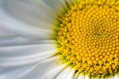 开花的延命菊的特写镜头 免版税图库摄影