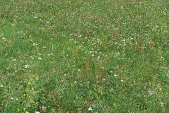 开花的开花的白花在草甸背景中 免版税库存照片