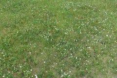 开花的开花的白花在草甸背景中 库存图片