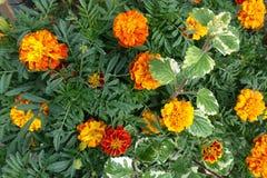 开花的开花的花背景橙黄色和绿色 免版税库存照片