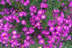 开花的开花的花背景紫罗兰色紫色和绿色 免版税图库摄影