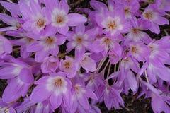 开花的开花的花背景紫罗兰色紫色番红花和绿色 图库摄影