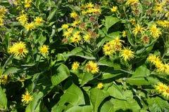 开花的开花的花背景黄色和绿色 免版税库存照片