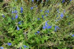 开花的开花的蓝色开花背景 免版税库存图片