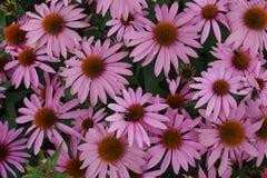 开花的开花的紫罗兰开花与绿色叶子的背景 免版税图库摄影