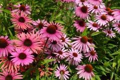 开花的开花的紫罗兰开花与绿色叶子的背景 免版税库存照片